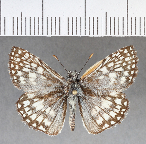(Hesperiidae_gen sp. CF363 - CFC04578)  @11 [ ] copyright (2018) Christer Fahraeus Fahraeus Institute