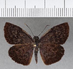 (Hesperiidae_gen sp. CF672 - CFC04582)  @11 [ ] copyright (2018) Christer Fahraeus Fahraeus Institute