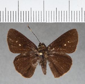 (Hesperiidae_gen sp. CF123 - CFC04583)  @11 [ ] copyright (2018) Christer Fahraeus Fahraeus Institute
