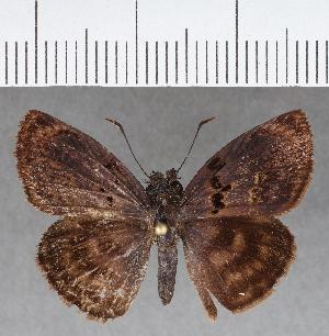 (Hesperiidae_gen sp. CF689 - CFC04585)  @11 [ ] copyright (2018) Christer Fahraeus Fahraeus Institute