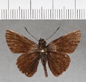 (Hesperiidae_gen sp. CF184 - CFC05095)  @11 [ ] copyright (2018) Christer Fahraeus Fahraeus Institute