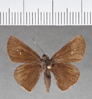 (Hesperiidae_gen sp. CF159 - CFC06040)  @11 [ ] copyright (2018) Christer Fahraeus Fahraeus Institute