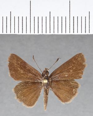 (Hesperiidae_gen sp. CF85 - CFC07235)  @11 [ ] copyright (2018) Christer Fahraeus Fahraeus Institute
