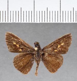 (Hesperiidae_gen sp. CF78 - CFC07240)  @11 [ ] copyright (2018) Christer Fahraeus Fahraeus Institute