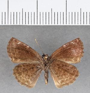 (Hesperiidae_gen sp. CF51 - CFC07241)  @11 [ ] copyright (2018) Christer Fahraeus Fahraeus Institute