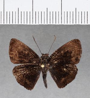 (Hesperiidae_gen sp. CF86 - CFC07243)  @11 [ ] copyright (2018) Christer Fahraeus Fahraeus Institute