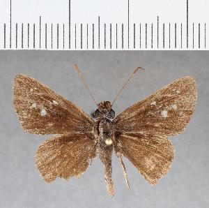 (Hesperiidae_gen sp. CF19 - CFC07253)  @11 [ ] copyright (2018) Christer Fahraeus Fahraeus Institute