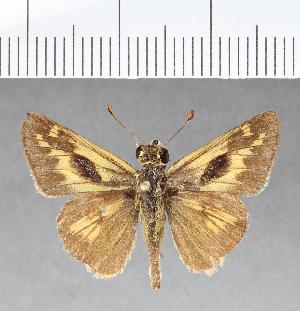 (Hesperiidae_gen sp. CF21 - CFC07255)  @11 [ ] copyright (2018) Christer Fahraeus Fahraeus Institute