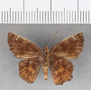 (Hesperiidae_gen sp. CF18 - CFC07263)  @11 [ ] copyright (2018) Christer Fahraeus Fahraeus Institute
