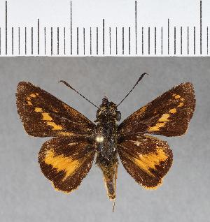 (Hesperiidae_gen sp. CF246 - CFC07269)  @11 [ ] copyright (2018) Christer Fahraeus Fahraeus Institute