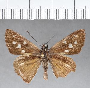 (Hesperiidae_gen sp. CF37 - CFC07280)  @11 [ ] copyright (2018) Christer Fahraeus Fahraeus Institute