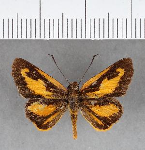 (Hesperiidae_gen sp. CF249 - CFC07323)  @11 [ ] copyright (2018) Christer Fahraeus Fahraeus Institute