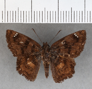 (Hesperiidae_gen sp. CF464 - CFC07324)  @11 [ ] copyright (2018) Christer Fahraeus Fahraeus Institute