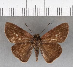 (Hesperiidae_gen sp. CF200 - CFC07326)  @11 [ ] copyright (2018) Christer Fahraeus Fahraeus Institute