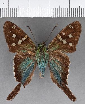 (Hesperiidae_gen sp. CF596 - CFC07328)  @11 [ ] copyright (2018) Christer Fahraeus Fahraeus Institute
