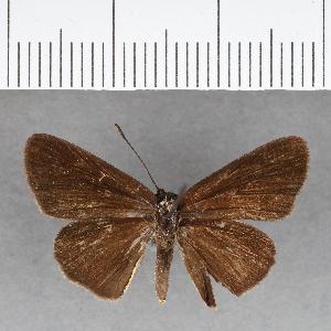 (Hesperiidae_gen sp. CF72 - CFC07455)  @11 [ ] copyright (2018) Christer Fahraeus Fahraeus Institute