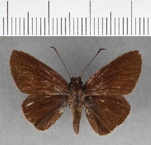 (Hesperiidae_gen sp. CF139 - CFC07503)  @11 [ ] copyright (2018) Christer Fahraeus Fahraeus Institute