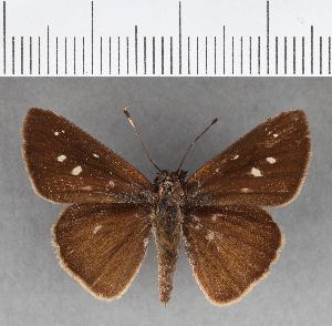 (Hesperiidae_gen sp. CF129 - CFC07504)  @11 [ ] copyright (2018) Christer Fahraeus Fahraeus Institute