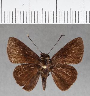 (Hesperiidae_gen sp. CF168 - CFC07634)  @11 [ ] copyright (2018) Christer Fahraeus Fahraeus Institute