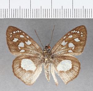 (Hesperiidae_gen sp. CF64 - CFC07636)  @11 [ ] copyright (2018) Christer Fahraeus Fahraeus Institute