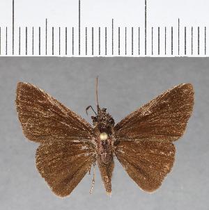 (Hesperiidae_gen sp. CF89 - CFC07672)  @11 [ ] copyright (2018) Christer Fahraeus Fahraeus Institute