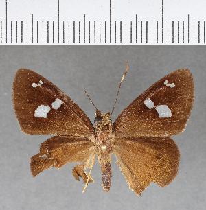(Hesperiidae_gen sp. CF449 - CFC07692)  @11 [ ] copyright (2018) Christer Fahraeus Fahraeus Institute