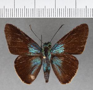 (Hesperiidae_gen sp. CF486 - CFC07835)  @11 [ ] copyright (2018) Christer Fahraeus Fahraeus Institute