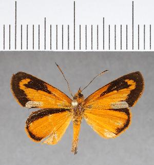 (Hesperiidae_gen sp. CF24 - CFC07860)  @11 [ ] copyright (2018) Christer Fahraeus Fahraeus Institute