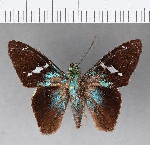 (Hesperiidae_gen sp. CF107 - CFC07939)  @11 [ ] copyright (2018) Christer Fahraeus Fahraeus Institute