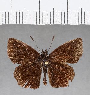 (Hesperiidae_gen sp. CF58 - CFC08480)  @11 [ ] copyright (2018) Christer Fahraeus Fahraeus Institute