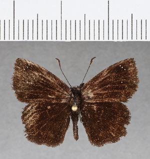 (Hesperiidae_gen sp. CF56 - CFC08484)  @11 [ ] copyright (2018) Christer Fahraeus Fahraeus Institute