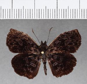 (Hesperiidae_gen sp. CF53 - CFC08490)  @13 [ ] copyright (2018) Christer Fahraeus Fahraeus Institute