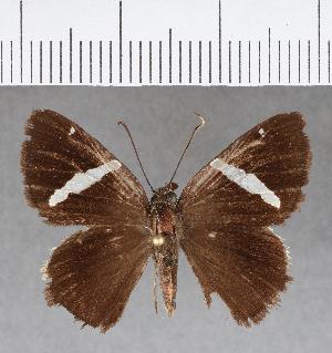 (Hesperiidae_gen sp. CF667 - CFC08495)  @11 [ ] copyright (2018) Christer Fahraeus Fahraeus Institute