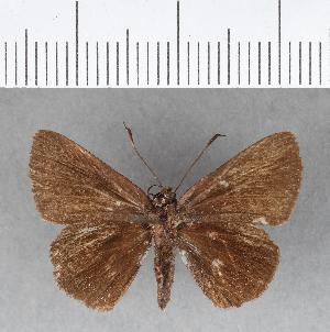 (Hesperiidae_gen sp. CF176 - CFC08755)  @11 [ ] copyright (2018) Christer Fahraeus Fahraeus Institute