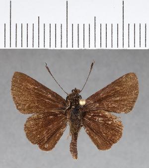 (Hesperiidae_gen sp. CF45 - CFC08891)  @11 [ ] copyright (2018) Christer Fahraeus Fahraeus Institute