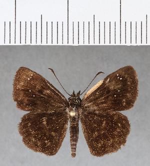 (Hesperiidae_gen sp. CF43 - CFC08893)  @11 [ ] copyright (2018) Christer Fahraeus Fahraeus Institute