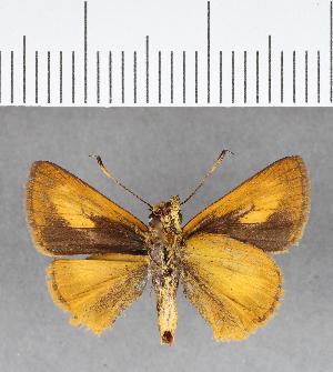 (Hesperiidae_gen sp. CF38 - CFC08895)  @11 [ ] copyright (2018) Christer Fahraeus Fahraeus Institute