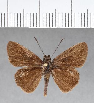 (Hesperiidae_gen sp. CF44 - CFC08896)  @11 [ ] copyright (2018) Christer Fahraeus Fahraeus Institute