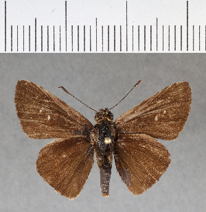 (Hesperiidae_gen sp. CF182 - CFC08902)  @11 [ ] copyright (2018) Christer Fahraeus Fahraeus Institute