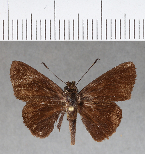 (Hesperiidae_gen sp. CF164 - CFC08904)  @11 [ ] copyright (2018) Christer Fahraeus Fahraeus Institute