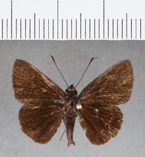 (Hesperiidae_gen sp. CF41 - CFC08905)  @11 [ ] copyright (2018) Christer Fahraeus Fahraeus Institute