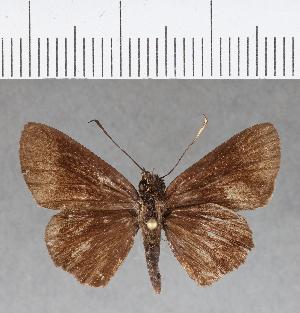 (Hesperiidae_gen sp. CF177 - CFC08906)  @11 [ ] copyright (2018) Christer Fahraeus Fahraeus Institute