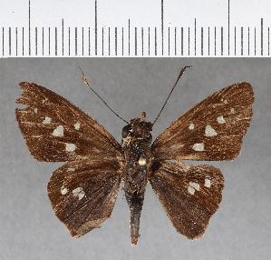 (Hesperiidae_gen sp. CF277 - CFC08918)  @11 [ ] copyright (2018) Christer Fahraeus Fahraeus Institute