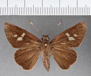 (Hesperiidae_gen sp. CF445 - CFC08924)  @11 [ ] copyright (2018) Christer Fahraeus Fahraeus Institute