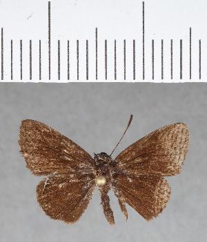 (Hesperiidae_gen sp. CF179 - CFC08943)  @11 [ ] copyright (2018) Christer Fahraeus Fahraeus Institute