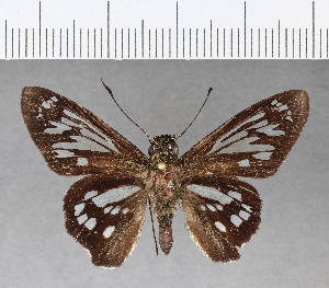 (Hesperiidae_gen sp. CF108 - CFC09236)  @12 [ ] copyright (2018) Christer Fahraeus Fahraeus Institute