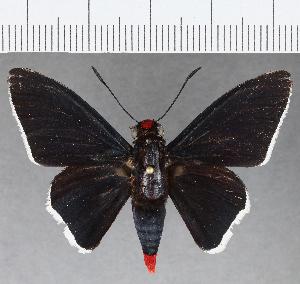 (Hesperiidae_gen sp. CF796 - CFC09240)  @11 [ ] copyright (2019) Christer Fahraeus Fahraeus Institute