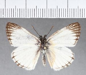 (Hesperiidae_gen sp. CF348 - CFC09432)  @11 [ ] copyright (2018) Christer Fahraeus Fahraeus Institute