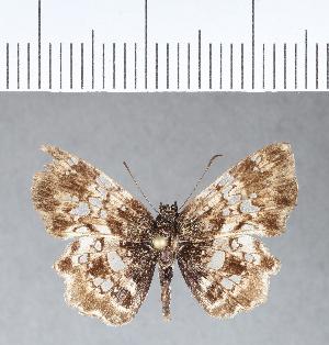 (Hesperiidae_gen sp. CF802 - CFC09483)  @11 [ ] copyright (2018) Christer Fahraeus Fahraeus Institute