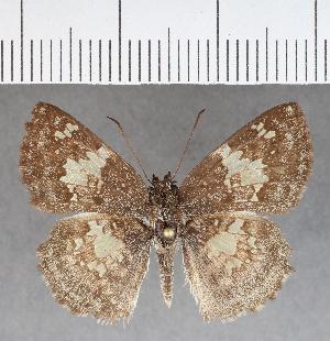 (Hesperiidae_gen sp. CF640 - CFC09499)  @11 [ ] copyright (2018) Christer Fahraeus Fahraeus Institute